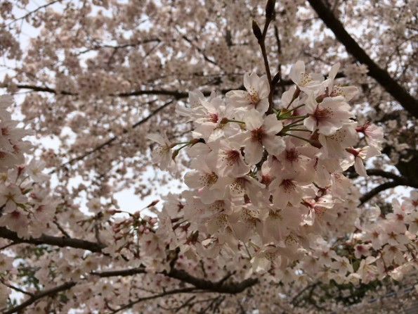 昨年のつつじ公園の桜