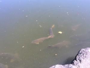 池の中には鯉がたくさん! 昔は鯉の餌売っていましたが今は餌やり禁止です(;'∀')