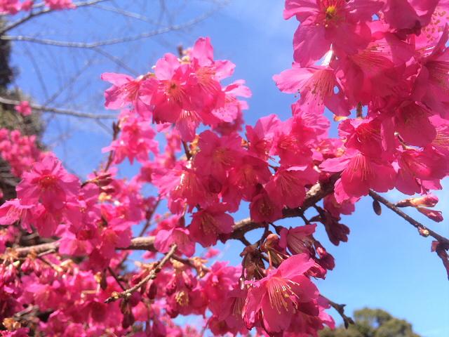 松乃木飯店さん近くで見かけた紅梅の花、満開です!!
