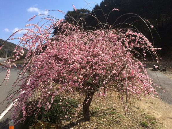 掛川市内で見かけた梅の花