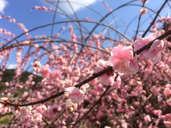 今を盛りに咲き誇っています