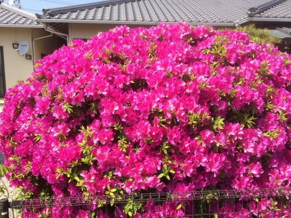こはち亭さんのお庭のツツジ、綺麗ですね!