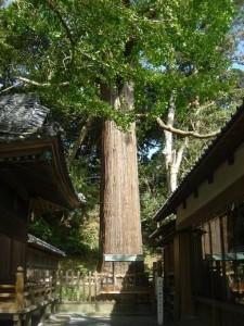 本殿横にある大杉 坂上田村麻呂のお手植えと伝えられています